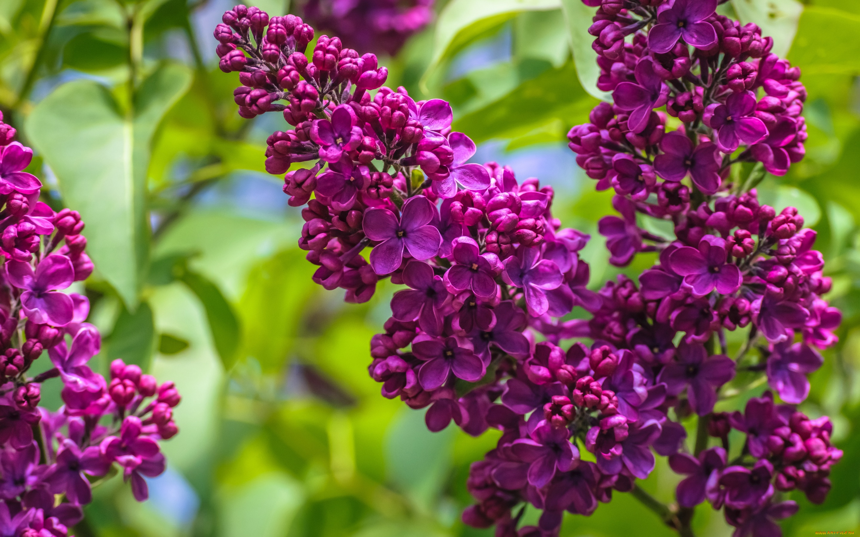 сирень ветки цветущая загрузить