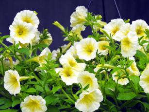 обоя цветы, петунии,  калибрахоа, сурфинии