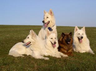 обоя животные, собаки, овчарки, белые, рыжая, трава
