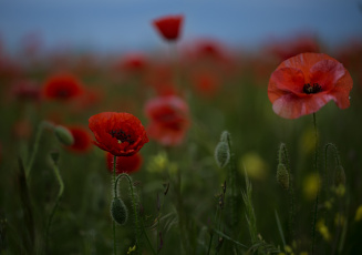 обоя цветы, маки, ночь, небо, поле