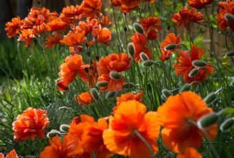 обоя цветы, маки, лето, поле