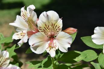 обоя цветы, альстромерия