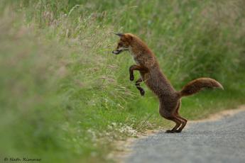 обоя животные, лисы, лиса