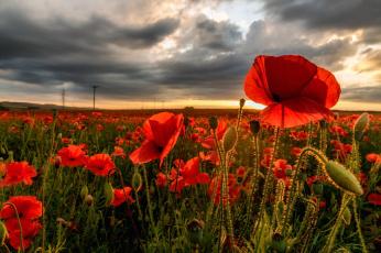 обоя цветы, маки, бутоны, поле