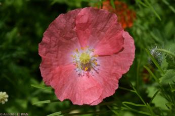 обоя цветы, маки, розовый