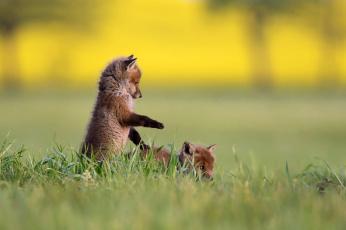 обоя животные, лисы, природа, лисята, трава
