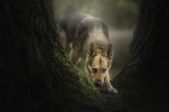 обоя животные, собаки, фон, прогулка, сабака
