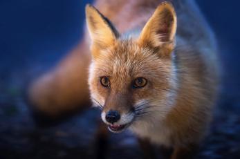 обоя животные, лисы, мордочка, рыжая, лиса