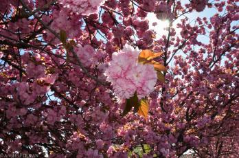 Картинка цветы сакура +вишня ветки