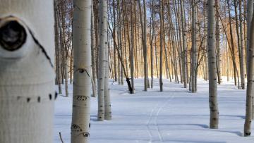 обоя природа, зима, деревья, снег, лыжня, стволы