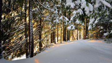 обоя природа, зима, снег, сосны