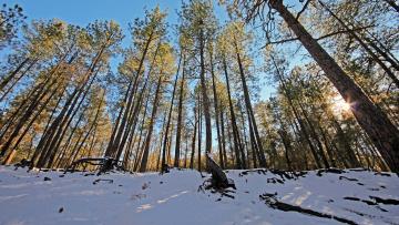 обоя природа, зима, сосны, снег