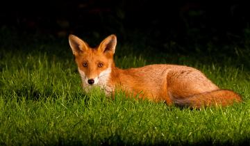 обоя животные, лисы, трава, уши, хвост, глаза, лиса