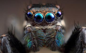 обоя животные, пауки, паук, глаза, скакунчик, мордашка, природа, фон, макро, портрет, паучок, красавчик, лысик, сине-зеленые, четырехглазый, шерсть, три, волоска, на, четыре, стороны, крупный, план, лапки, в, анфас, мохнатый, джампер, размытие, размытый, прыгающий