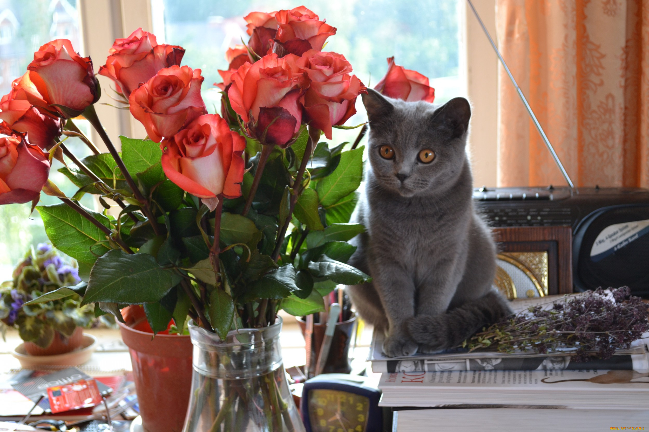 Открытки с британскими кошками