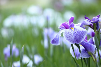 обоя цветы, ирисы, цветение, яркость, лепестки, ирис