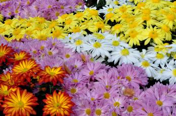 Картинка цветы хризантемы разноцветный
