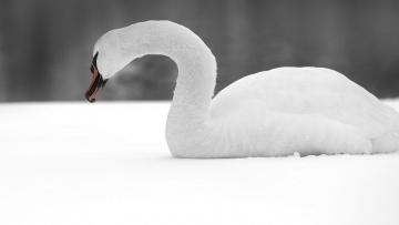 Картинка животные лебеди снег