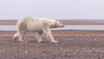 обоя животные, медведи, белый, медведь, полярный, аляска
