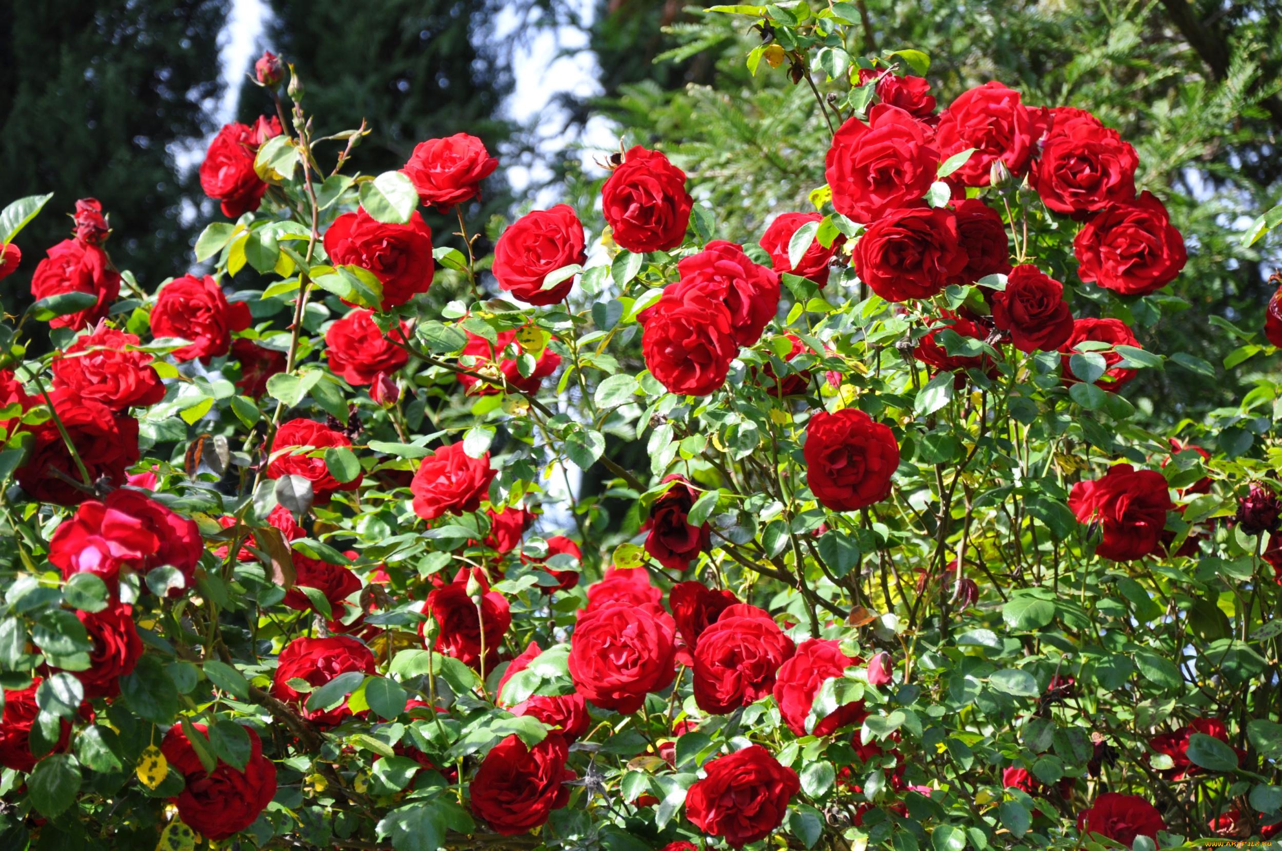 Розы куст забор  № 3015260 загрузить