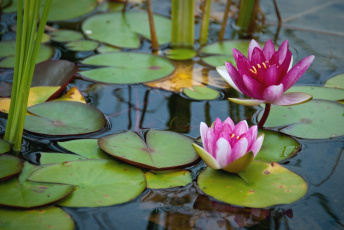 Картинка цветы лилии+водяные +нимфеи +кувшинки вода листья