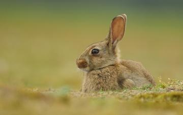 Картинка животные кролики +зайцы боке уши кролик