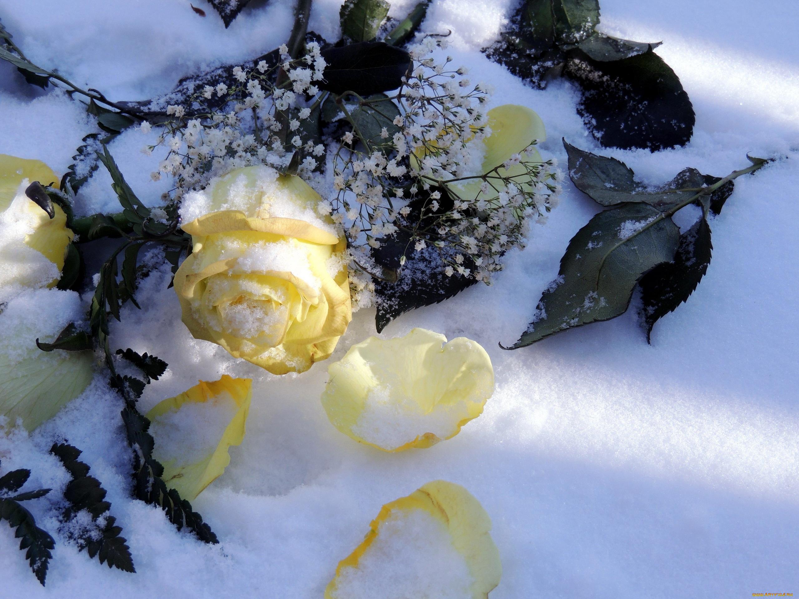 Октября, картинки цветы на снегу красивые