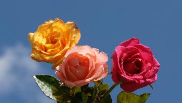 Картинка цветы розы небо розовые желтая