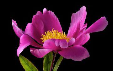 обоя цветы, пионы, розовый