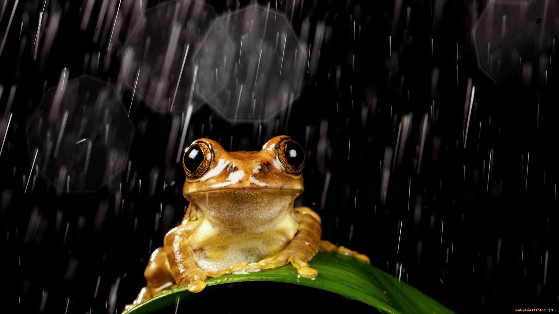 Картинки с лягушкой про дождь