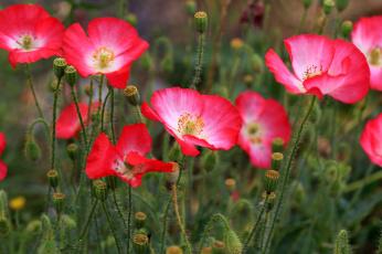 Картинка цветы маки поле розовые трава
