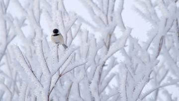 Картинка животные синицы +лазоревки птица дерево снег природа