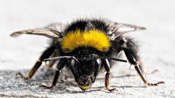 Картинка bumblebee животные пчелы осы шмели грозный вид