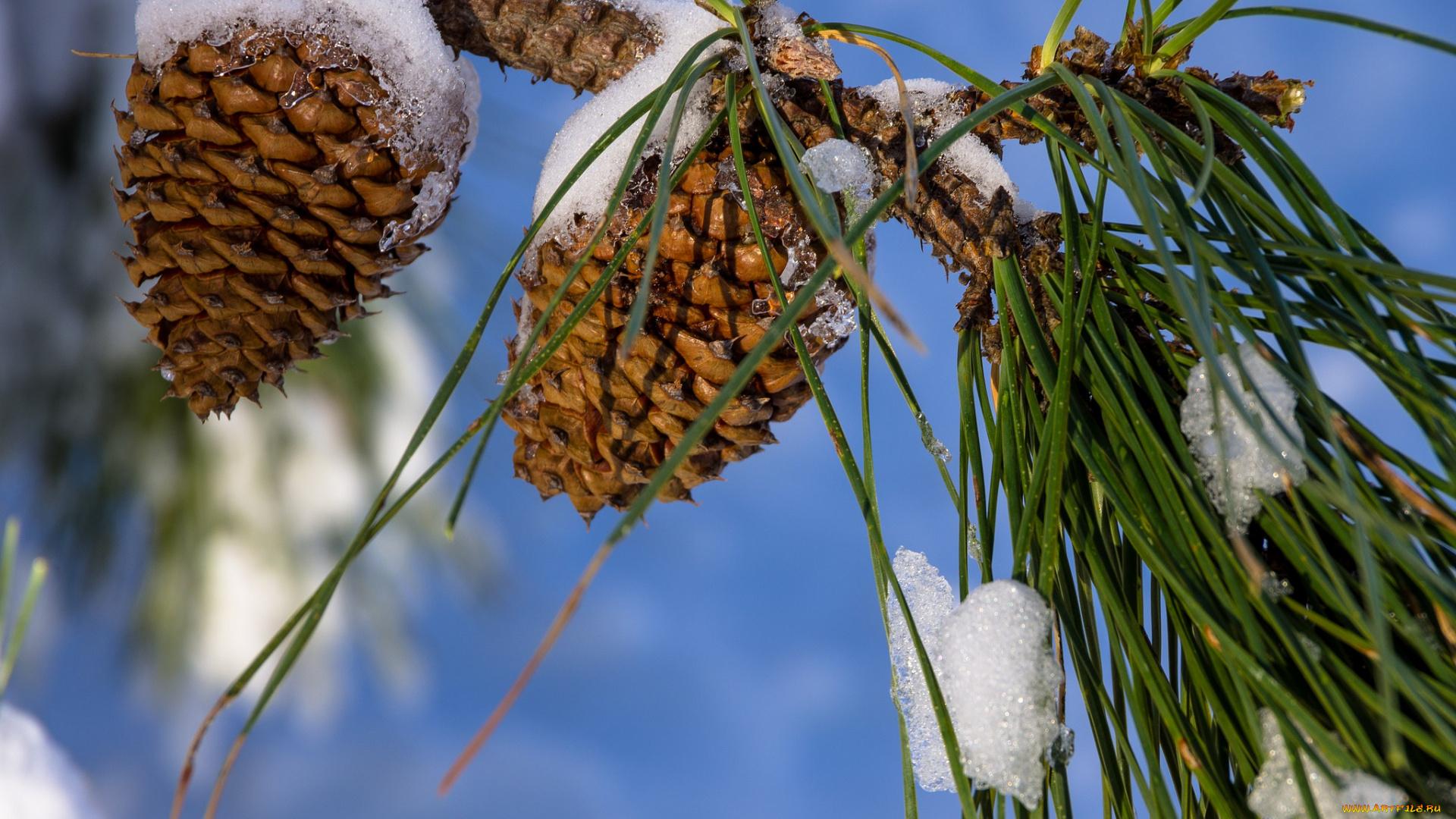 отвары фото шишки под снегом своей