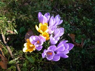 Картинка цветы крокусы