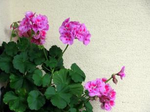 обоя цветы, герань, розовый