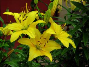обоя цветы, лилии,  лилейники, желтый