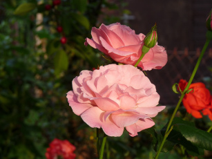 обоя цветы, розы, розовый
