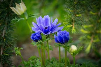 обоя цветы, анемоны,  сон-трава