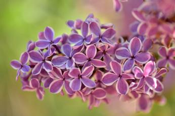 обоя цветы, сирень, гроздь, соцветие, макро