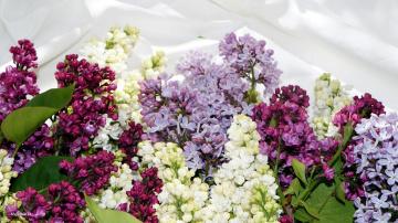 обоя цветы, сирень, гроздья