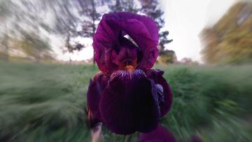 обоя цветы, ирисы, фиолетовый