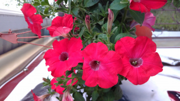 обоя цветы, петунии,  калибрахоа, макро