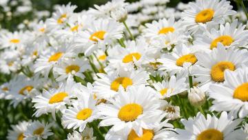 обоя цветы, ромашки, белые, сад