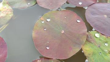 обоя природа, листья, лотос, лист, вода