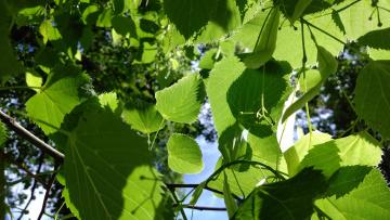 обоя природа, листья, май, весна