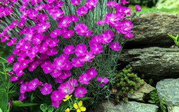 обоя цветы, гвоздики, шабо