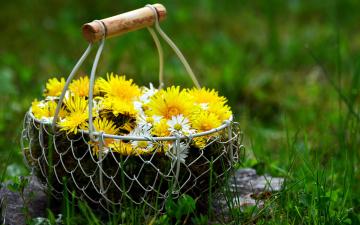 обоя цветы, одуванчики, солнечный