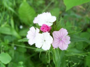 природа цветы гвоздики бесплатно
