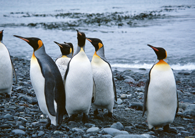 Пингвины на камушках  № 2020622 без смс